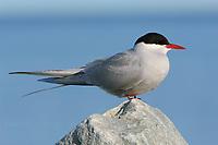 Adult Arctic Tern (Sterna paradisaea). Seward Peninsula, Alaska. June.