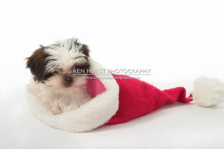 Cute little Shih Tzu baby wearing Santa's hat on the wrong end!