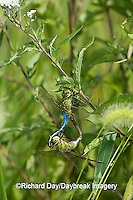 06361-006.20 Common Green Darners (Anax junius) male & female in copulation wheel, Prairie Ridge SNA Marion Co.  IL