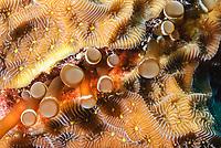 Hidden anemone, Lebrunia coralligens, Bonaire, Caribbean Netherlands, Caribbean