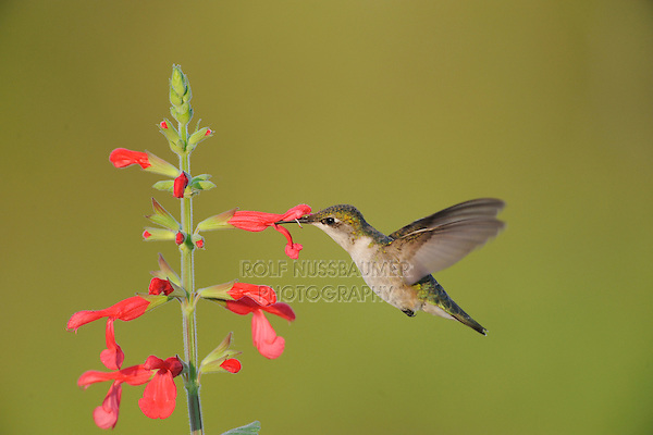 Ruby-throated Hummingbird (Archilochus colubris), female feeding on blooming Red Sage (Salvia sp.), Sinton, Corpus Christi, Coastal Bend, Texas Coast, USA
