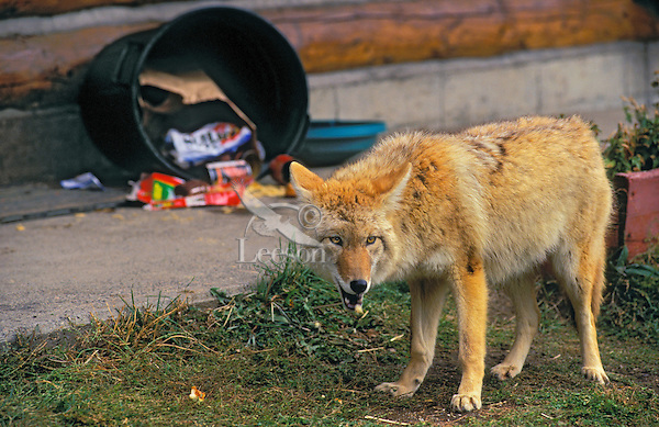 COYOTE & household garbage..Urban encroachment. Rocky Mountains..(Canis latrans).