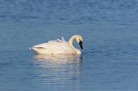 Trumpeter Swan on Phantom Lake in Crex Meadows in northwestern Wisconsin.