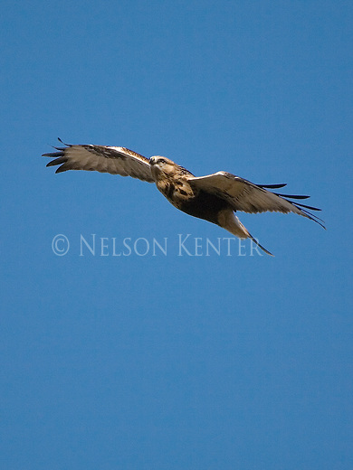 A Rough Legged Hawk soars over a Montana field