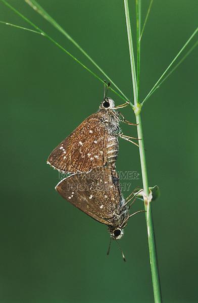 Celia's Roadside-Skipper, Amblyscirtes celia, pair mating, Willacy County, Rio Grande Valley, Texas, USA