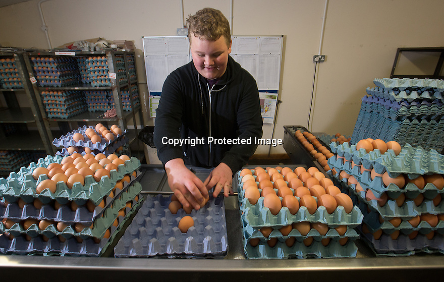 """25/03/16<br /> <br /> Zak Byra helps to grade the eggs into different sizes..<br /> <br /> Full story here:  <br /> <br /> http://www.fstoppress.com/articles/happy-hens/<br /> .<br /> FARMER Roger Hosking doesn't believe there is such a thing as a bad egg, especially when he's talking about youngsters who have already made some bad choices in life.<br /> <br /> So it seems particularly fitting that this Easter, traditionally a time to celebrate new beginnings, he will spend time with disadvantaged kids, counting and grading more than 20,000 eggs each day as part of his unique """"farm school"""" philosophy.<br /> <br />  <br />  <br /> <br /> All Rights Reserved: F Stop Press Ltd. +44(0)1335 418365   www.fstoppress.com."""
