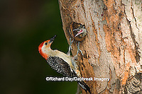 01196-033.03 Red-bellied Woodpecker (Melanerpes carolinus) male feeding nestling at nest cavity, Marion Co. IL