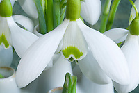 Galanthus Comet snowdrops bulbs flowers in vase picked. Recently named AGM
