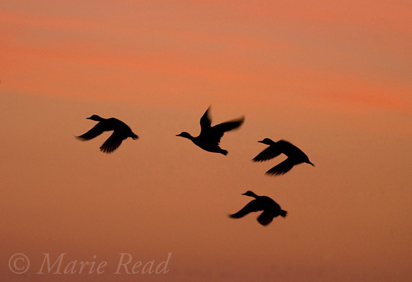 Northern Pintails (Anas acuta) silhouette in flight at sunrise, Bosque Del Apache National Wildlife Refuge, New Mexico, USA