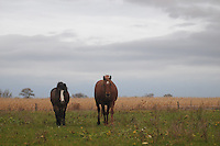 Afternoon at the paddock,  Horses at the Field (Photo.: Stefan Noebel-Heise)....Pferd,Horse, Abend  Sunset, Hengst, stellion, Paddock,Koppel, Morgendunst, mist, Nebel,Zaun, Fence, wald,Land,Wiese, Willow, Gras, Wildlive,Urban Animals, Hafer, Reiten, horseback riding,Land, Landwirtschaft, Sachsen-Anhalt,