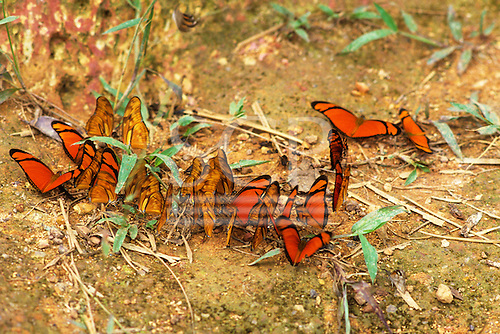 Para state, Brazil. Dryas iulia heliconid butterfly with red and black wings; A-Ukre, Xingu Indigenous Area.