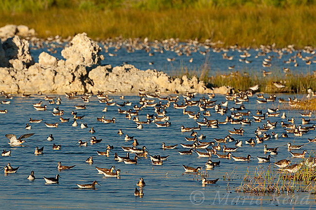 Wilson's Phalaropes (Phalaropus tricolor) large flock swimming/foraging near the shoreline at Mono Lake California, USA