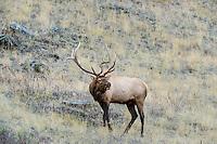 Large Bull Rocky Mountain Elk (Cervus canadensis nelsoni) bugling.  Western U.S., fall.