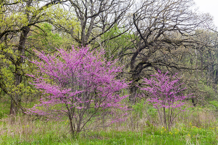 Redbud trees in bloom at sunrise at The Morton Arboretum; DuPage County, IL