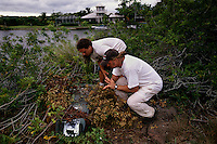 Greg and Todd Campbell, University of Tampa, inspect a trap set to catch monitor lizards along the canals surrounding Cape Coral where they are breeding. A nasty tempered reptile, the lizard is being trapped and destroyed (and studied by Campbell and his crew). They have caught them up to 7 feet long—while I was with him, he caught two 4 1/2 foot ones and a couple of small one to two foot ones.