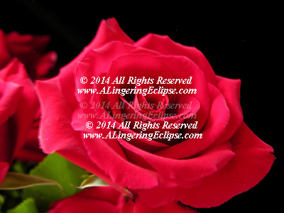 "Quotes..In the driest whitest stretch of pain's infinite desert, I lost my sanity and found this rose. ? Rumi ..What's in a name? That which we call a rose/By any other name would smell as sweet. ? William Shakespeare, Romeo and Juliet act II, sc. ii ..O, my love's like a red, red rose/That's newly sprung in June ? Robert Burns, A Red, Red Rose ..Hearts starve as well as bodies; give us bread, but give us roses. ? James Oppenheim, ""Bread and Roses"" ..Rose is a rose is a rose is a rose ? Gertrude Stein, Sacred Emily (1913), a poem included in Geography and Plays. ..Arise, arise, arouse, a rose! ? Eh, a rosy nose? ? Jeremy Hilary Boob, Ph.D. (more commonly referred to as the 'Nowhere Man'), Yellow Submarine (film) ..A name is a rose, and it only smells as sweet as you are. -The Tick"