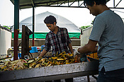 Workers sort recycled fruits and vegetables at the pilot project farm involving maggot production in village Kundang, at the outskirts of capital Kuala Lumpur, Malaysia.
