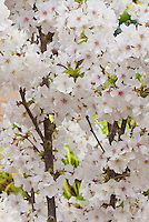 Flowering Cherry Tree Prunus nipponica var. kurilensis 'Brilliant' in spring bloom