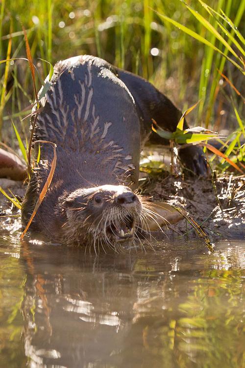 Backlit River Otter sliding into a river - CA