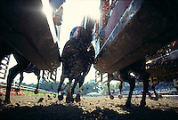 ..Race horses break from the gate, seen from ground level and behind..