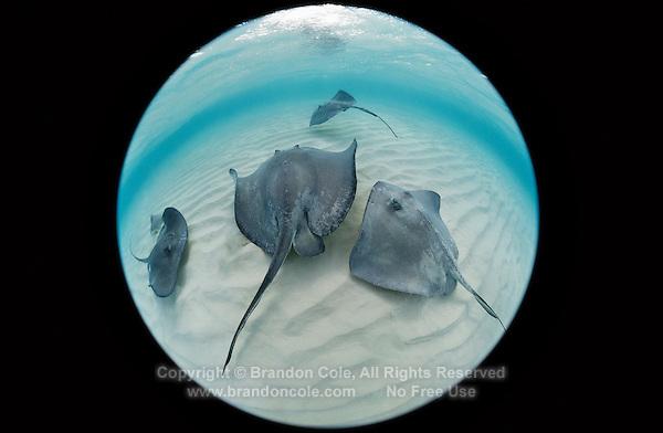 TR5114-D. Southern Stingrays (Dasyatis americana) swimming over sandy bottom. Grand Cayman, Cayman Islands, Caribbean Sea.<br /> Photo Copyright &copy; Brandon Cole. All rights reserved worldwide.  www.brandoncole.com