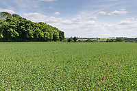 27.5.2020 Peas growing in Rutland   <br /> ©Tim Scrivener Photographer 07850 303986<br />      ....Covering Agriculture In The UK.