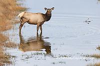 01980-02814 Elk (Cervus elaphaus) cow female with 3 legs crossing stream, Yellowstone National Park, WY