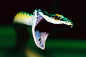 Parrot Snake with mouth open; Pantanal, Mato Grosso, Brazil