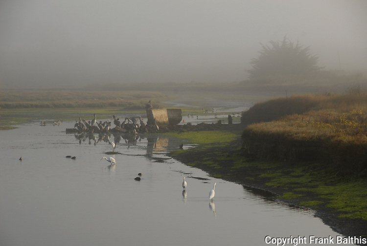 egrets and brown pelicans at Moss Landing