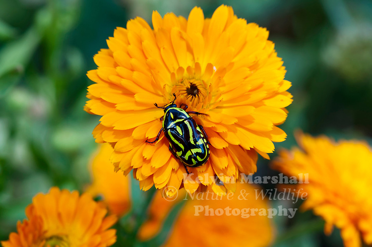 The Fiddler Beetle or Rose Chafer is a dark brown scarab beetle with distinctive green or yellow markings in a violin shape. The abdomen is banded black and yellow or green. They are strong fliers and move from tree to tree to feed on nectar. They are harmless to humans.