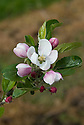 Blossom of Apple 'Dummellor's Seedling' (syn. 'Dumelow's Seedling' and 'Wellington'), early May. A traditional old Englilsh culinary apple raised in the late 1700s by Richard Dummellor (pronounced Dumelow), a farmer at Shakerstone, near Ashby-de-la-Zouche in Leicestershire. One of the best Victorian cooking apples and thus widely grown.
