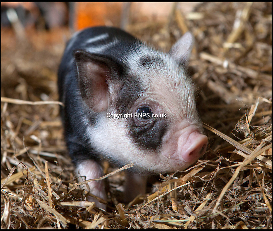BNPS.co.uk (01202) 558833<br /> Picture: AlexNewstead/BNPS<br /> <br /> One of Daisy's litter of 11 kunekune piglets earlier on this year.<br /> <br /> Daisy the hardy sow is taking a well earned rest after giving birth to an incredible 27 piglets the space of nine months.<br /> <br /> The Kunekune pig previously produced a litter of 11 babies at a children's activity farm when Charlie the randy boar escaped from his pen at night and snuck into her enclosure.<br /> <br /> Four months on from that amorous evening and Daisy has given birth to a whopping 16 more piglets at the Farmer Palmer's Farm Park near Wareham, Dorset.