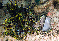 A greenish-yellow Lacey Scorpiofish, Rhinopias aphanes, extends its jaws out in a defense posture, Jason's Reef, Milne Bay, Papua New guinea, Pacific Ocean
