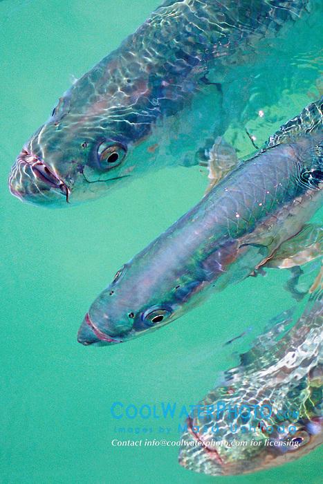tarpons, .Megalops atlanticus, .Islamorada, Florida Keys National .Marine Sanctuary (Atlantic).