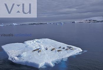Crabeater Seals ,Lobodon carcinophagus,, Antarctica.
