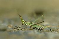Gewöhnliche Nasenschrecke, Weibchen, Acrida ungarica, Snouted Grasshopper, Nosed grasshopper, female
