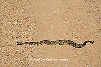 02907-00506 Timber Rattlesnake (Crotalus horridus) in road, Iron Co.  MO