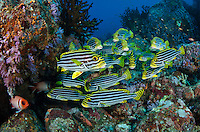 A school of Oriental Sweetlips, Plectorhinchus vittatus, hover amidst soft corals on a rocky reef. Fish Rock, Andaman Islands, India, Andaman Sea