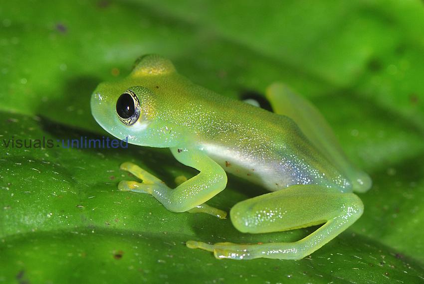 Glass Frog (Cochranella), San Cipriano Reserve, Cauca, Colombia