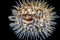 longspine porcupine fish, Diodon holocanthus, Maui, Hawaii, Pacific Ocean