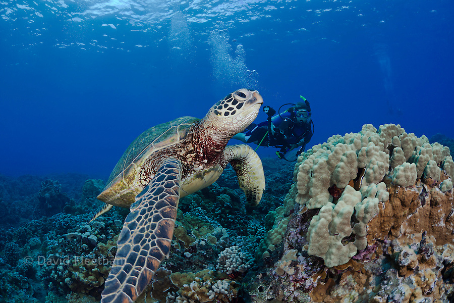 Green sea turtle, Chelonia mydas, and a diver with a camera (MR).  Hawaii.