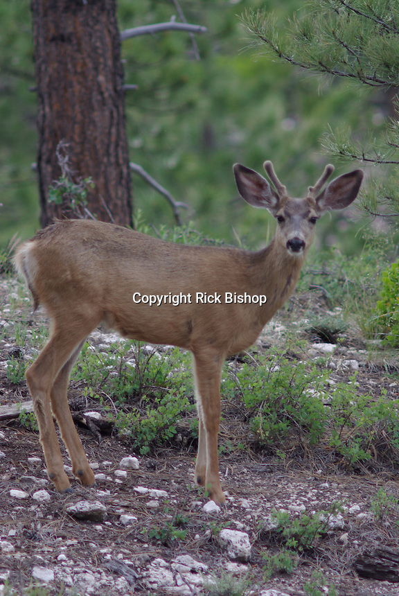 Mule Deer Buck in velvet on a summer day on southern Utah's, Dixie National Forest.