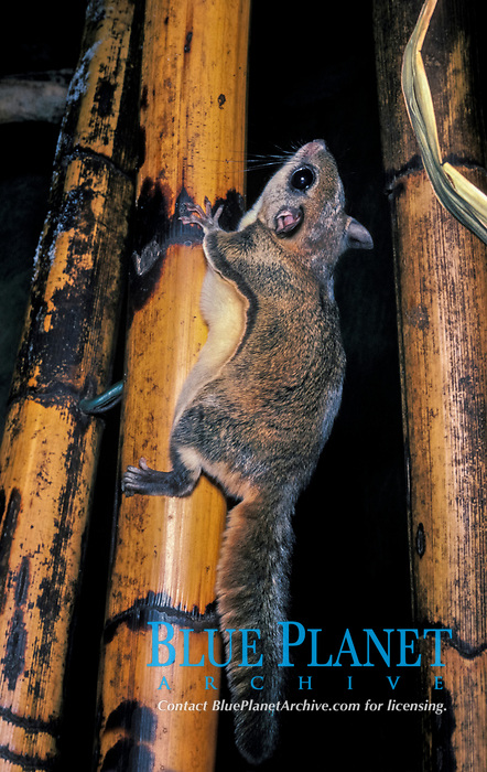 Siberian flying squirrel, Pteromys volans