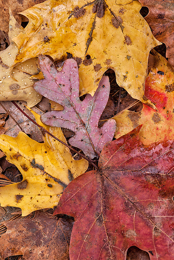 Colorful autumn leaves decorate the forest floor in the Quabbin watershed.