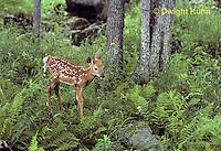MA11-013z  White-tailed Deer - fawn - Odocoileus virginianus