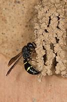 Lehmwespe am Bau einer Schornsteinwespe, Symmorphus bifasciatus, potter wasp, mason wasp, Lehmwespen