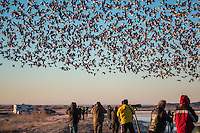 Thousands of Snow Geese take off  at Bosque del Apache Wildlife Refuge in New Mexico.