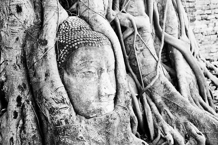 Black and White Photo of a Large Stone Buddha Head Surrounded by Fig Tree Roots, Wat Mahathat, Ayutthaya City, Thailand. This black and white photo shows what Wat Mahathat, one of the many ancient ruined temple complexes in Ayutthaya City, is most famous for with tourists; the iconic large Buddha head surround by Fig Tree roots. The Ancient City of Ayutthaya Historical Park, Phra Nakhon Si Ayutthaya, contains the ruins of temples and Buddhas dating back to when it was the capital of the Kingdom of Siam. The Historic City of Ayutthaya was made a UNESCO World Heritage Site in 1991.