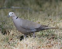 Eurasian Collared-Dove in the town of Marfa, TX