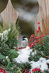 Black-capped chickadee on festive fence